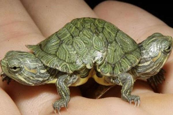 İkiz Kaplumbağalar